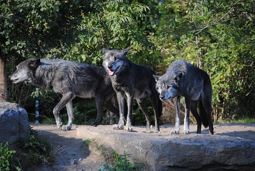 wolves domestication of dogs